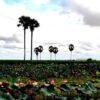 Hồ sen ở Kampong Cham-min