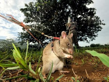 Chuột được huấn luyện từ lúc mới sinh ra được 1 tháng