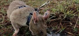 Campuchia huấn luyện chuột dò mìn
