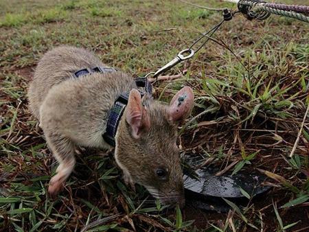 Những chú chuột khổng lồ được huấn luyện dò mìn ở Campuchia