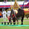 Lễ Vua đi cày độc đáo ở Campuchia
