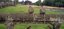 Những chú khỉ thân thiện ở Angkor Wat Campuchia