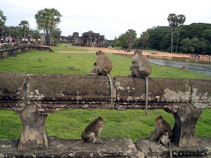 Khỉ ở khu đền Angkor Wat 1-min