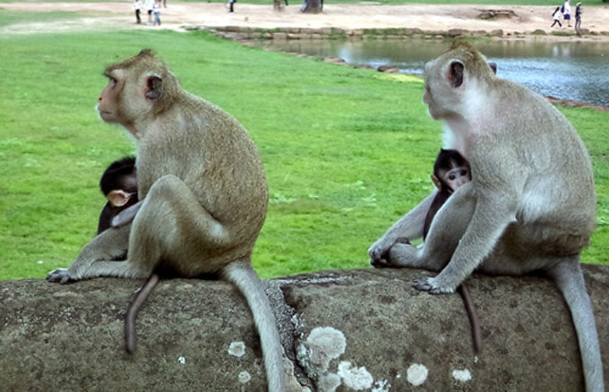 Khỉ ở khu đền Angkor Wat 2-min