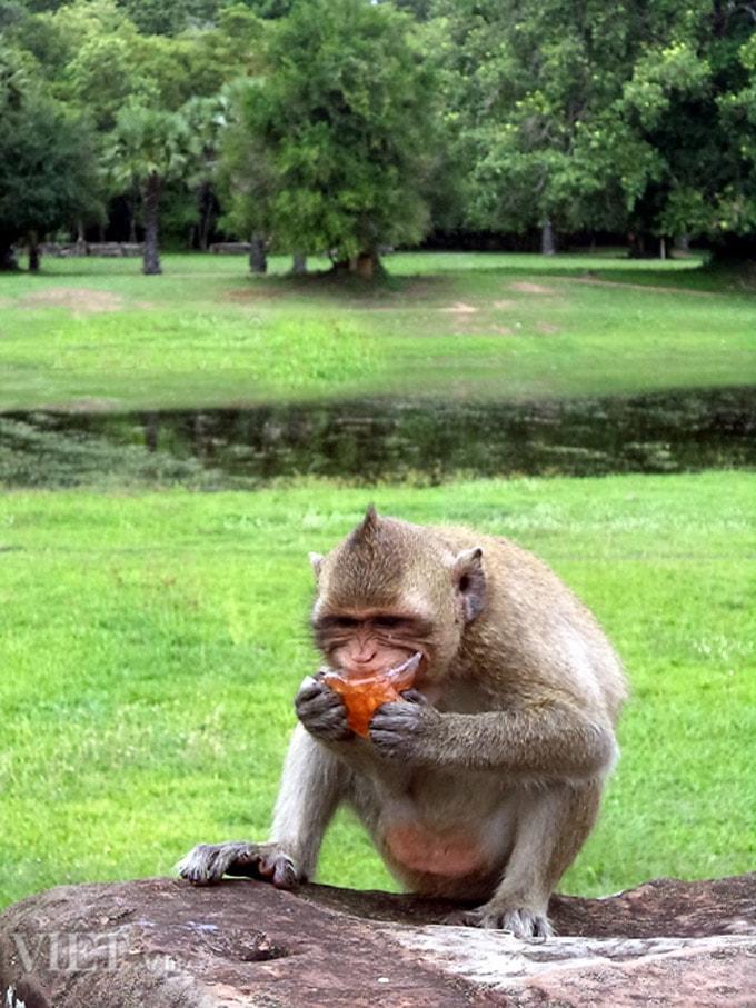 Khỉ ở khu đền Angkor Wat 3-min