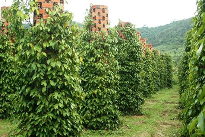 vườn tiêu Kampot-min