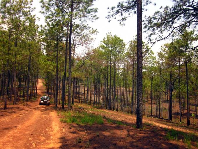 Rừng thông trong vườn quốc gia Kirirom-min